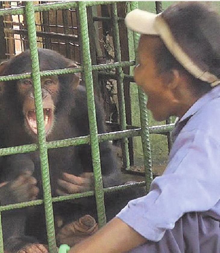 Oudere chimpansees gapen sneller