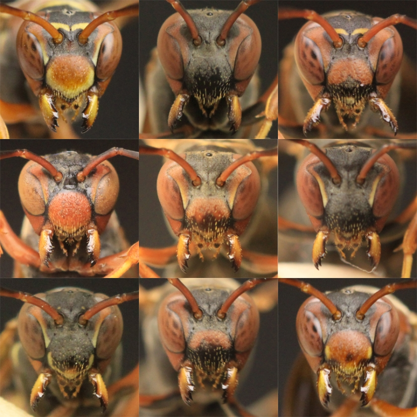 Papierwesp kan gezichten soortgenoten herkennen