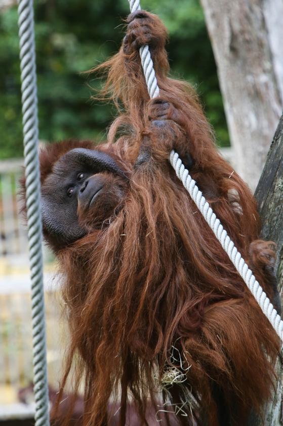 Orang-oetan Kevin, een van de mensapen in het in apen gespecialiseerde dierenpark Apenheul in Apeldoorn.  (ap)
