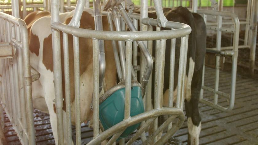 Een koe plast in een urinoir.  (Henk Hanskamp)