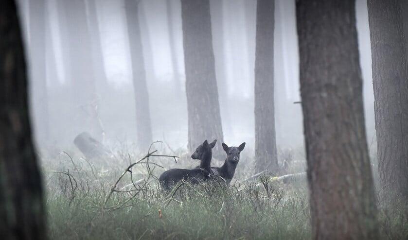 De damherten in het Deelerwoud zijn nauwelijks meer te zien. Ze zijn schuwer geworden sinds op ze gejaagd wordt.  (vk / Marcel van den Bergh)