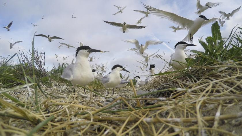 Doordat er geen getij meer is, zijn veel geschikte broedgebieden voor vogels verdwenen, zoals voor de grote stern.  (ruben Smit)