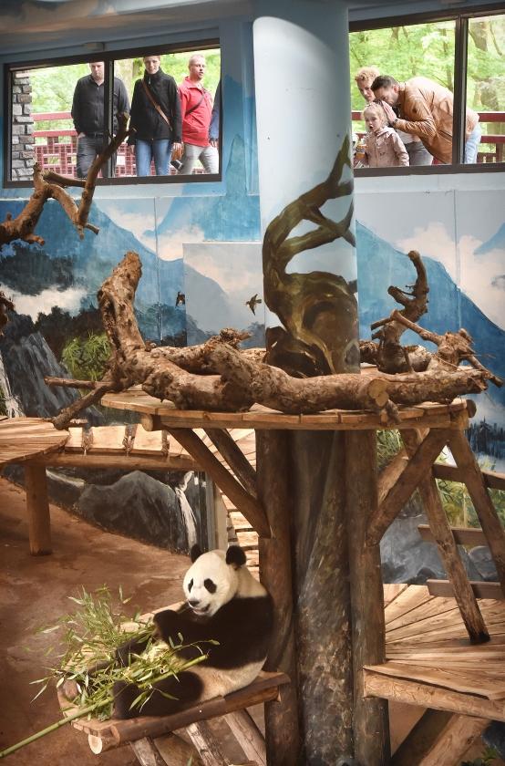 Om pandavrouw Wu Wen te zien eten, moet je vroeg in Ouwehands Dierenpark zijn. Na 11.15 uur slapen de panda's al.   (Marcel van den Bergh)