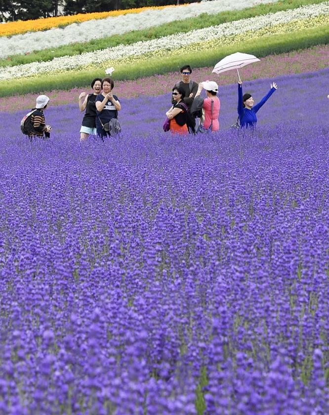 Lavendelveld op het Japanse eiland Hokkaido.  (ap, Freek Visser)