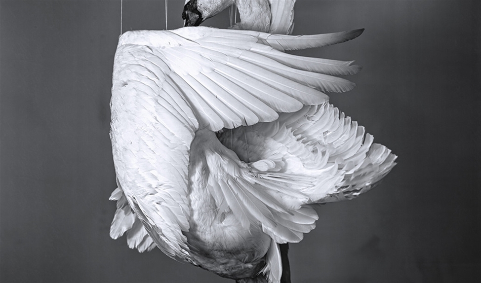 Swan   (Richard Learoyd / Fraenkel Gallery, San Francisco)