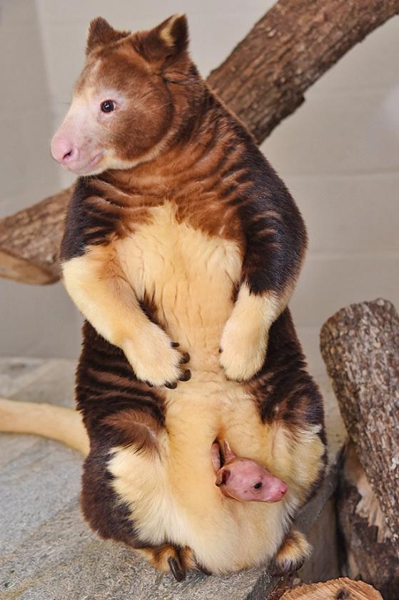 Meer weten: de boomkangoeroe  (ap / Ron Magill)