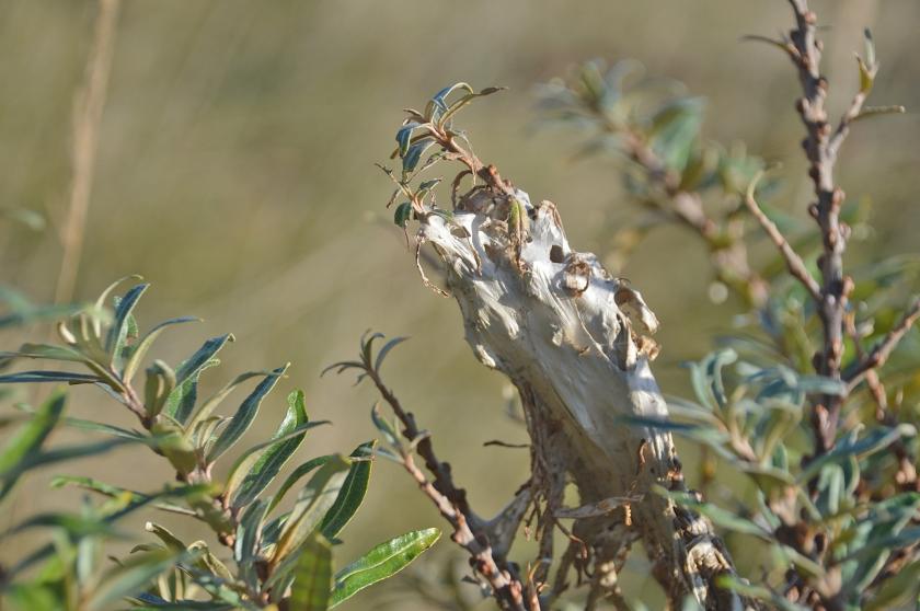 De rupsen van de bastaardsatijnvlinder maken opvallende winternesten aan de uiteinden van duindoorntakken.  (Kees de Heer)