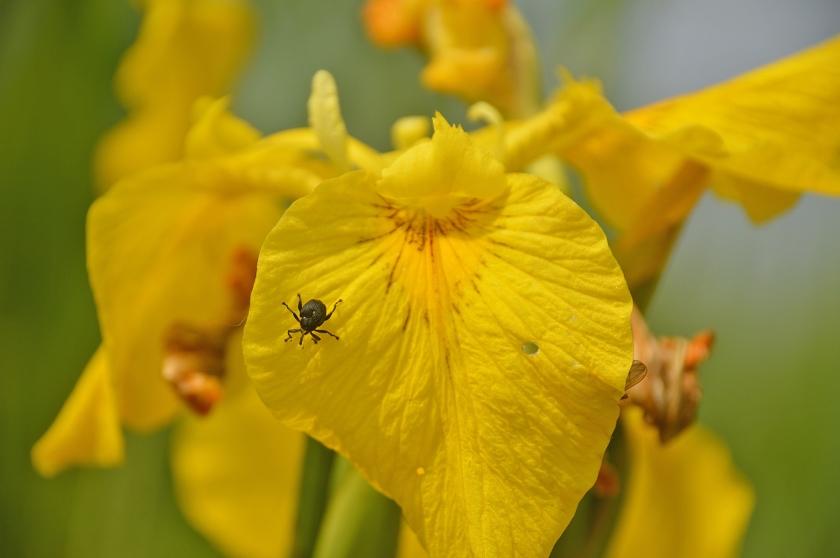 Op de reuzenbloemen van de gele lis kruipen mini-kevers rond.  (Kees de Heer)