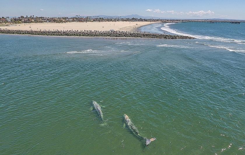 Een paar grijze walvissen zwemmen in ondiep water in de monding van de San Gabriel River tussen Long Beach en Seal Beach in de Amerikaanse staat Californië. De grijze walvis kan een lengte bereiken van 13 tot 15 meter, weegt 14 tot 35 ton en heeft slechts twee vijanden: de mens en de orka. Ondanks dat is het wel een bedreigde diersoort. De walvissen trekken rond tussen Canada en de Golf van Mexico, om in de Golf van Californië te paren. ?  (ap / Jeff Gritchen)