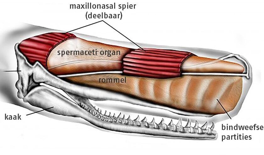 Schets van de kop van een potvis.