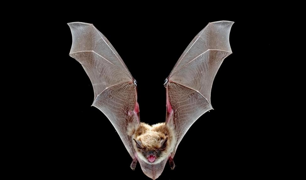Wetenschap: Bosbranden zijn soms gunstig voor vleermuizen   (Michael Durham / minden pictures, bat conversation international)