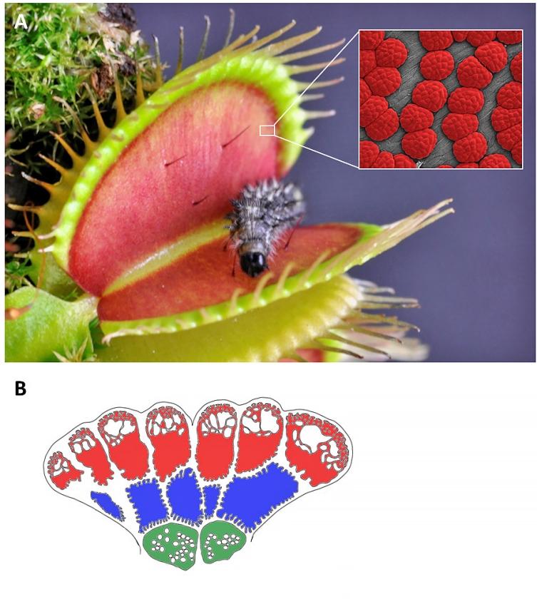 Een venusvliegenval onder de microscoop en een tekening van de drie typen kliercellen aan de binnenkant van de val.   (Dirk Becker, Sönke Scherzer)