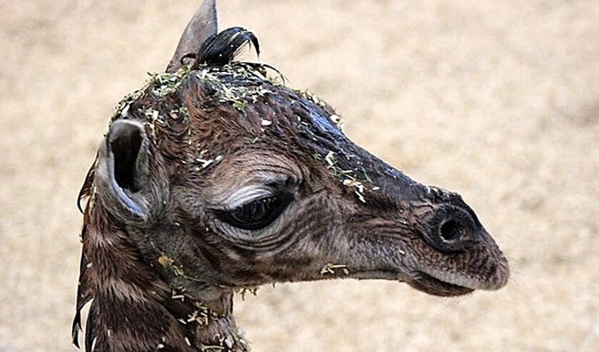 De pasgeboren giraffe in Wildlands Adventure Zoo in Emmen zat onder het strooisel.  (rtv Drenthe)