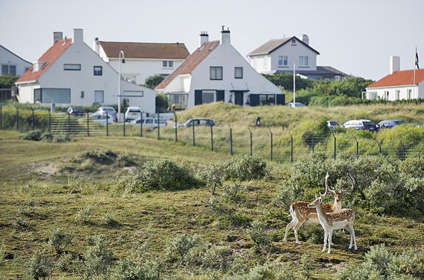 Bij de Amsterdamse Waterleidingduinen in Zandvoort zorgt een grote populatie damherten voor overlast. Het afschieten mag doorgaan.  (anp)
