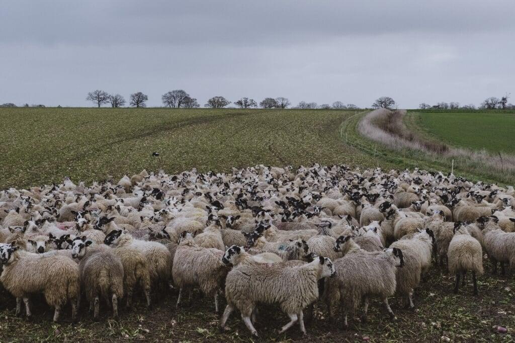 Tim Crick's sheep in Suffolk  (beeld Carlotta Cardana)