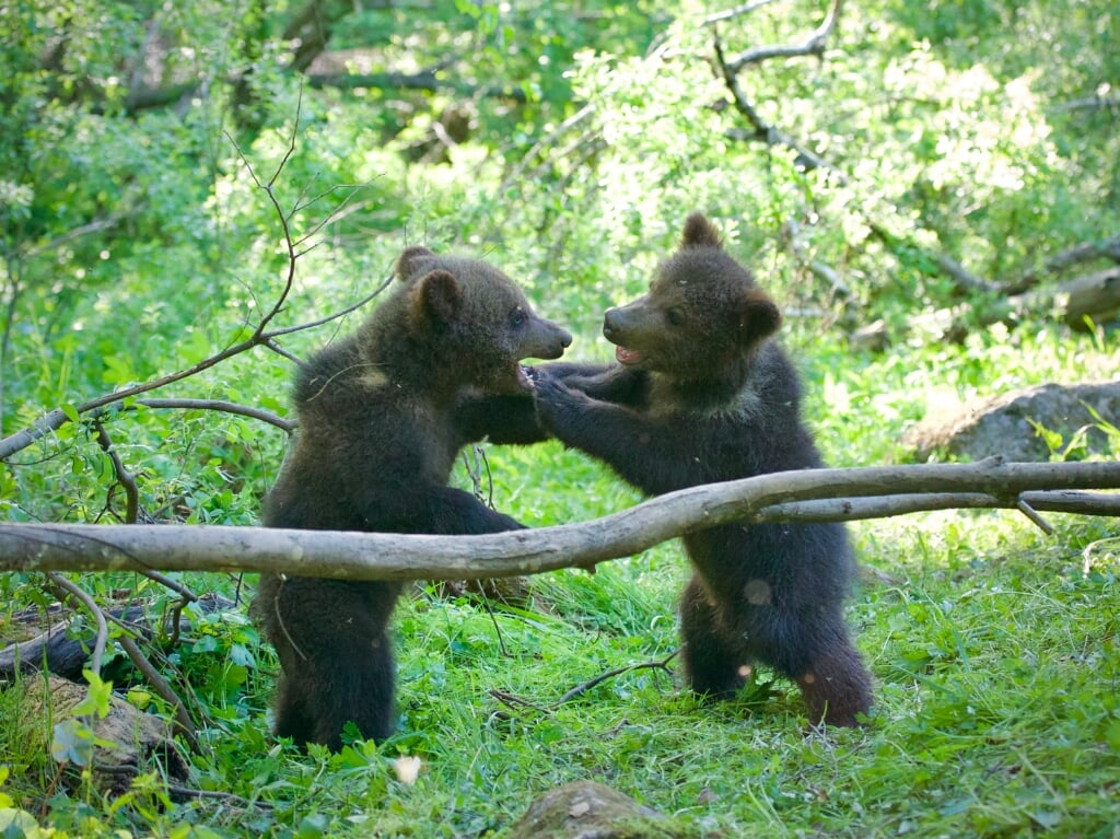 Picture shows: 4 month old bear cubs play fighting. Location: Orphaned Bear Rescue Centre, Bubonitsy, Russia  (beeld Anwar Mamon)