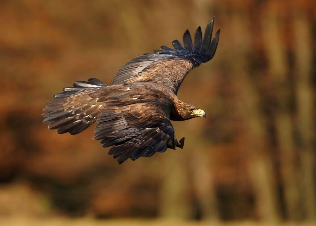 Golden eagle in flight  (beeld Martin Mecnarowski/Shutterstock)
