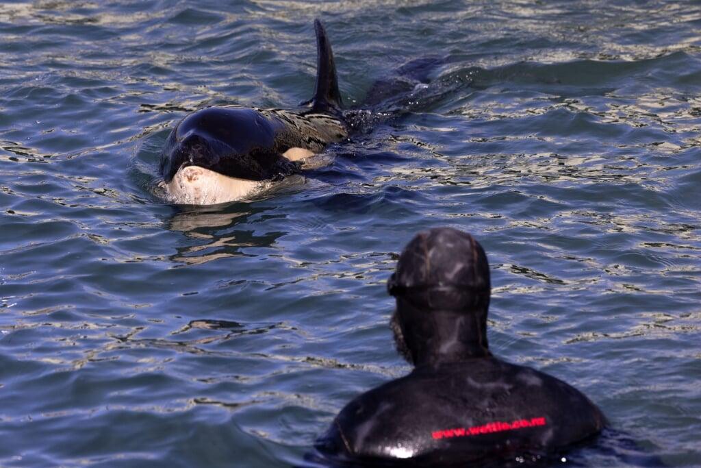 Toa, de kleine orka die verdwaald is na een storm.  (beeld afp / Marty Melville)