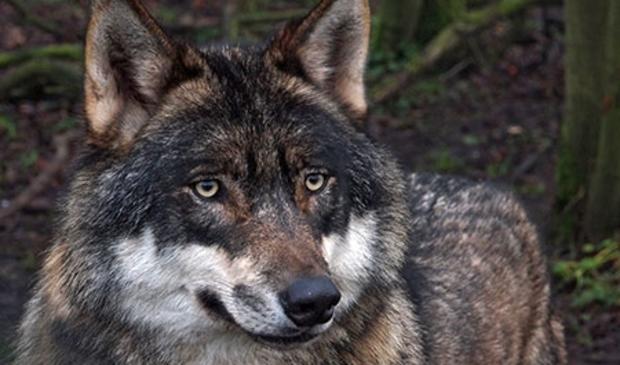 <p>De wolf vormt een bedreiging voor schapen en geiten.</p>