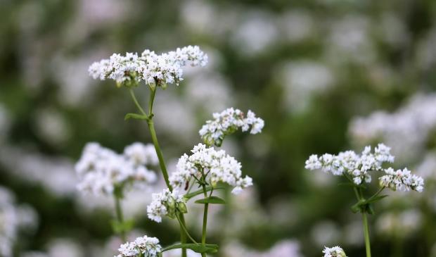 <p>Boekweit levert een goede leefomgeving op voor insecten.</p>