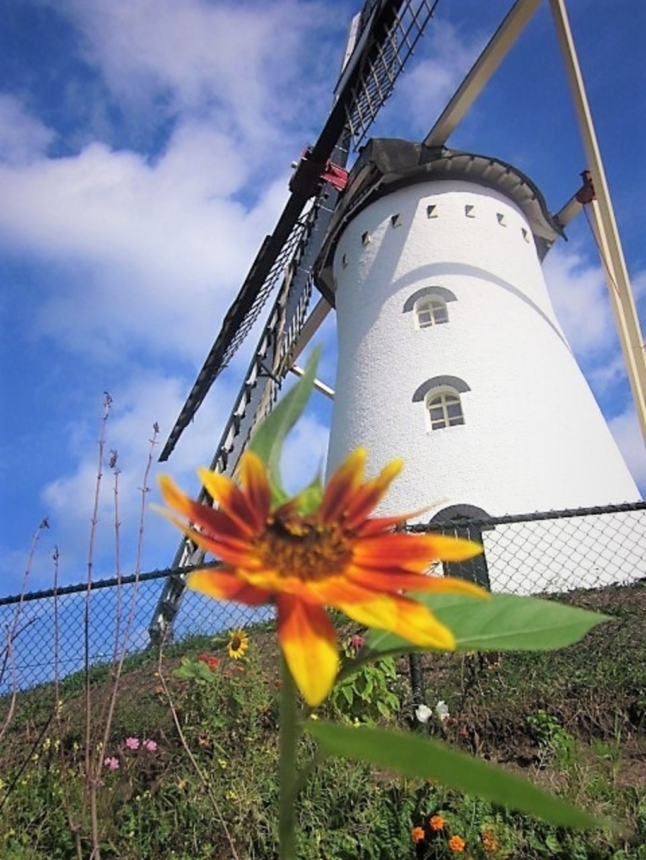 Vorstenbosch - Zonnebloem en de molen  Foto: Jan Smolenaers  © mooibernheze