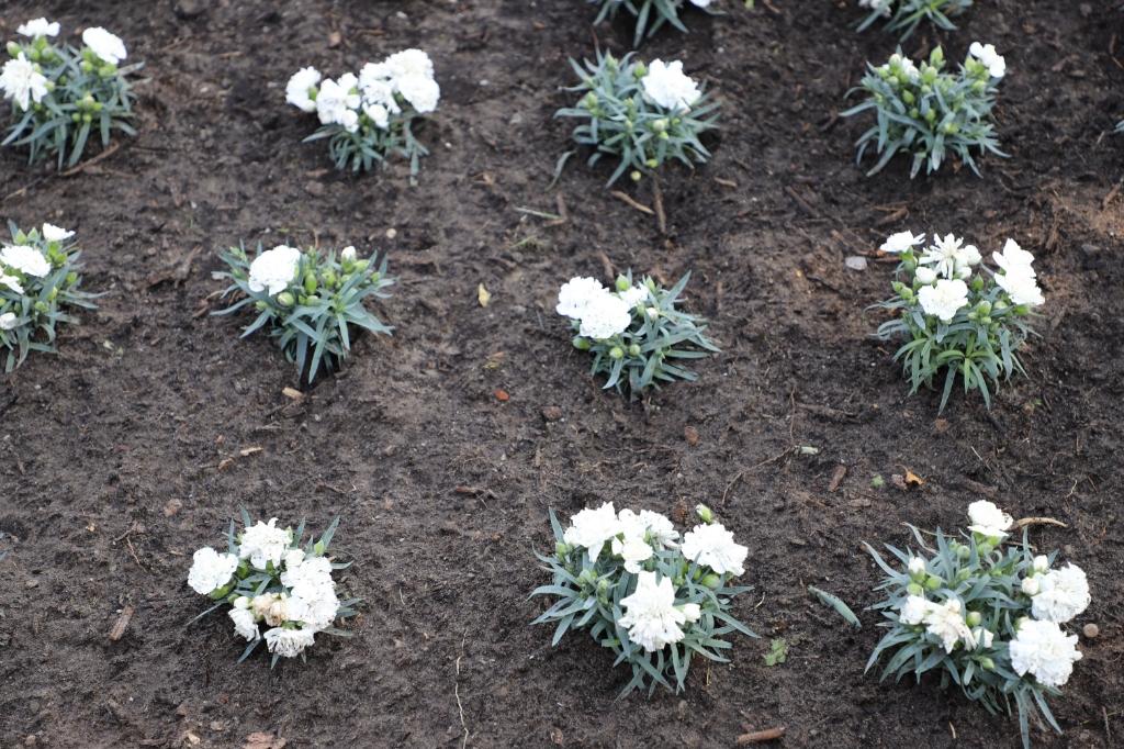 Anjers planten veteranen Woensdrecht Foto: Bep Tielemans © Minerve Pers