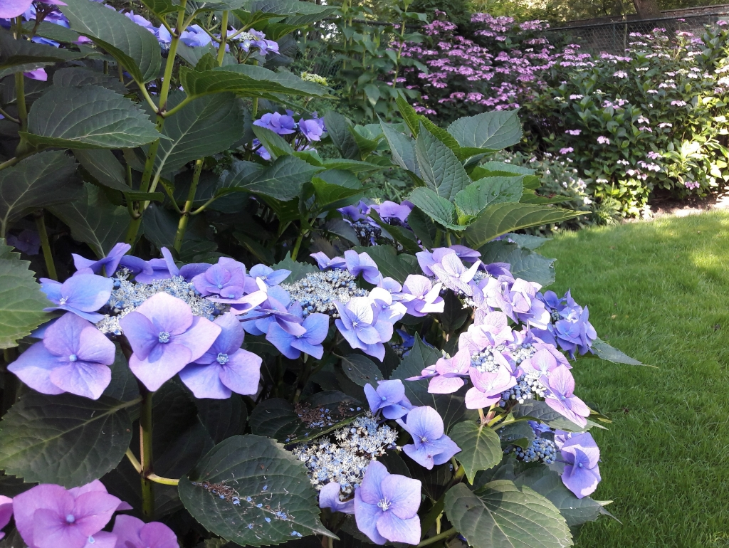 Hertgang hortensia's  © Minerve Pers