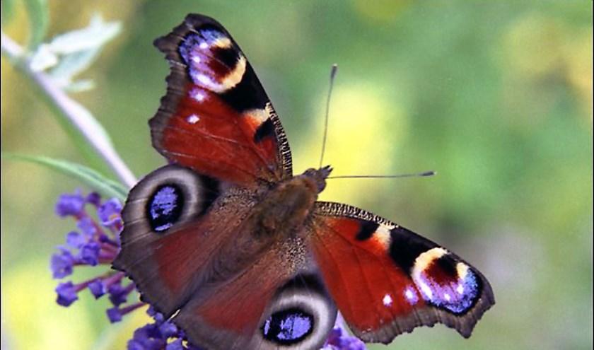 Een Dagpauwoogvlinder.