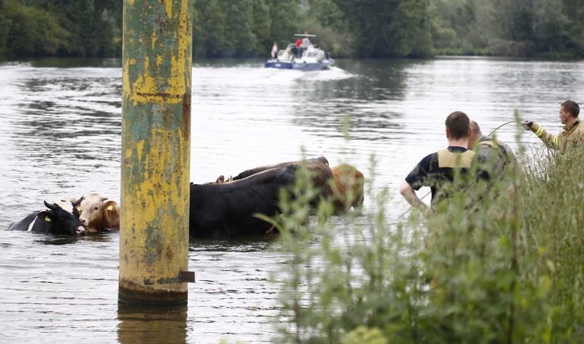 Stieren zijn vanmiddag de Maas ingerend nadat één van de dieren de rest wilde bespringen.