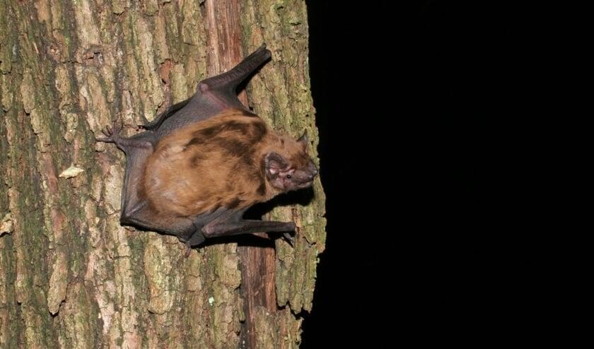 Spot vleermuizen tijdens de wandeling van de IVN.