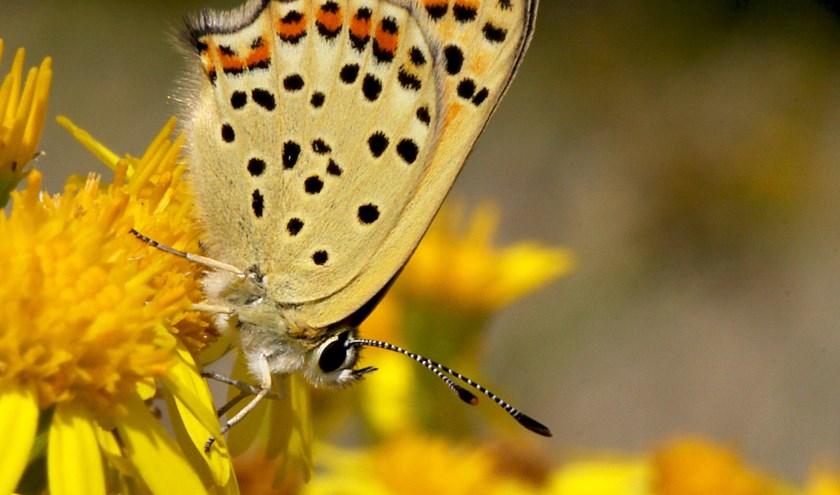 De bruine vuurvlinder. (foto: Kars Veling/De Vlinderstichting)