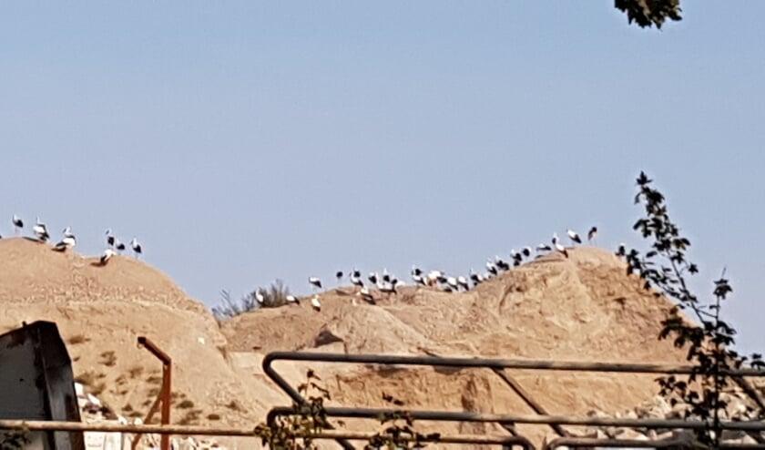 Ooievaars aan de Maaskade. (Foto: Anne-Marie Bollen)