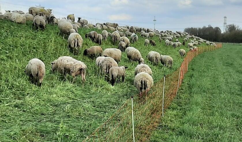 Op een aantal delen van onze dijken grazen schapen. Zij vervullen de rol van een natuurlijke maaimachine.