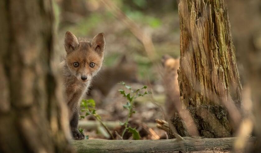 <p>Ook vossen zijn te vinden in het natuurgebied. (foto: Mignon van den Wittenboer)</p>