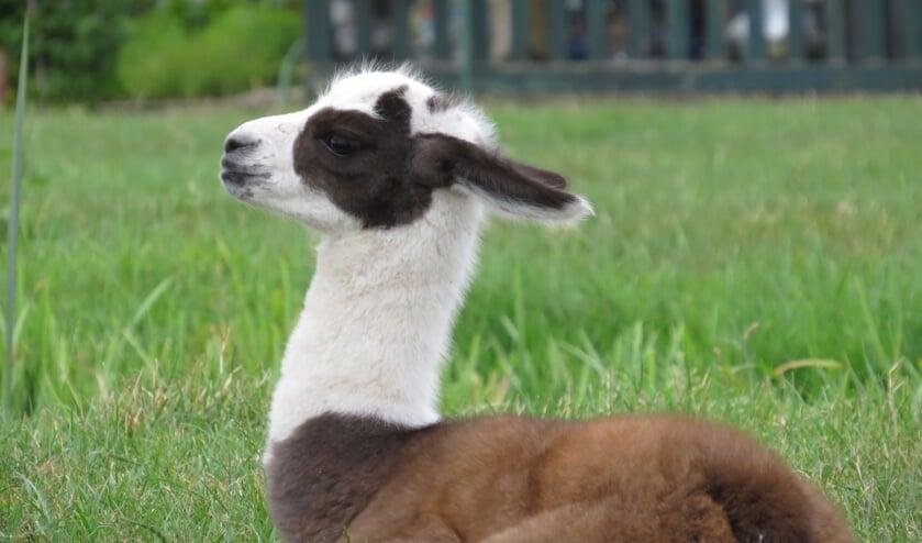 Bodegraven heeft een nieuwe inwoner! Bij boer Aad Veelenturf is tijdens de warme dagen een lama geboren. Het is een meisje en heet Marit. Beeld: Marit Verkleij