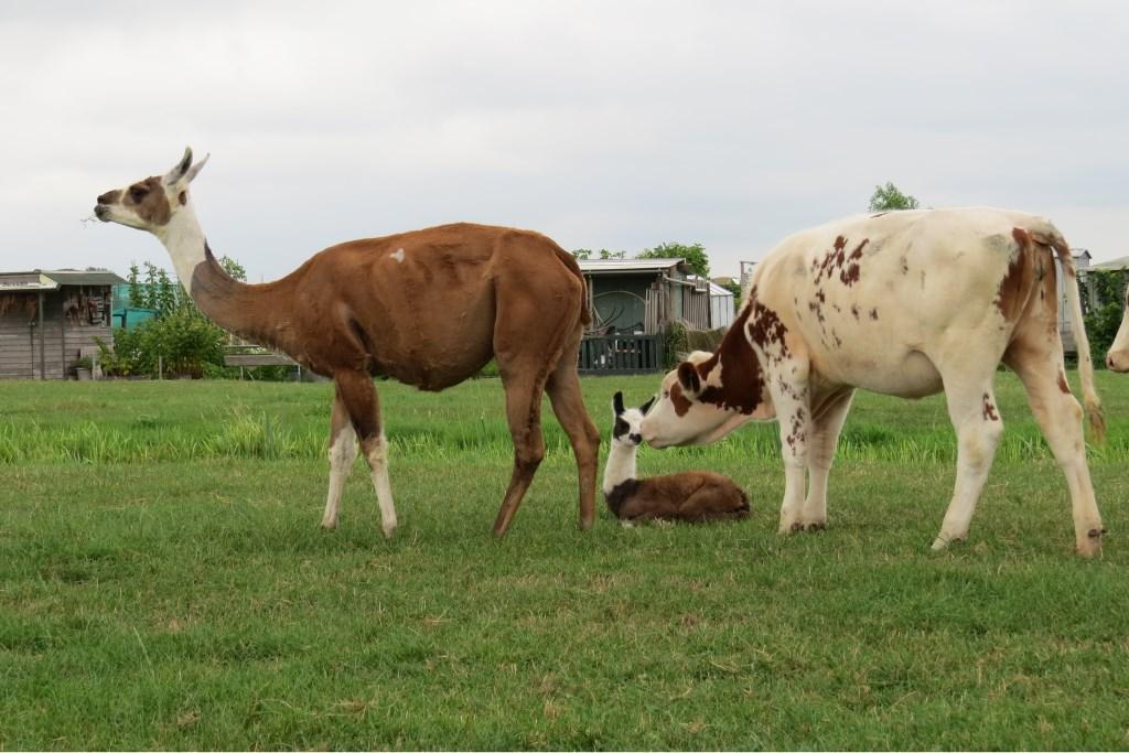 Bodegraven heeft een nieuwe inwoner! Bij boer Aad Veelenturf is tijdens de warme dagen een lama geboren. Het is een meisje en heet Marit. Beeld: Marit Verkleij  © Graficelly B.V.