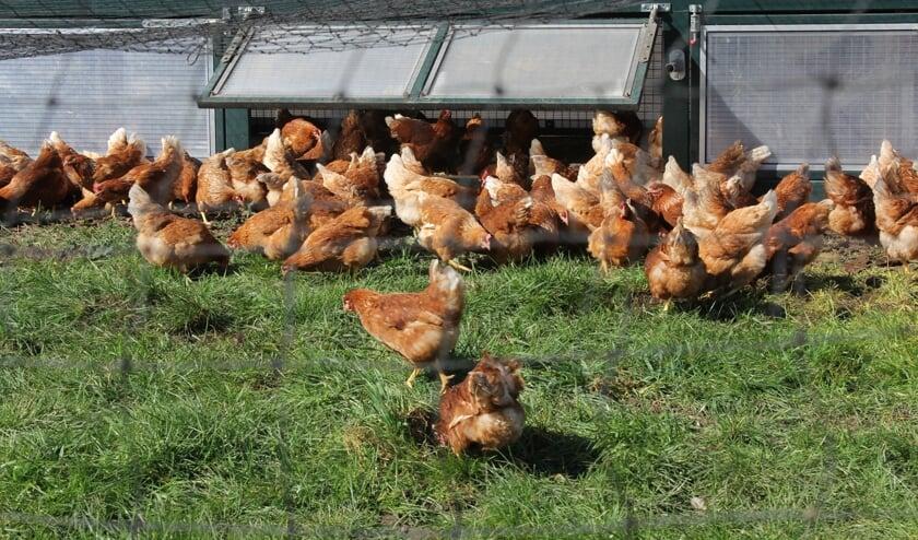 Blije kippen de hele dag hard aan het werk voor de lekkerste graaseieren