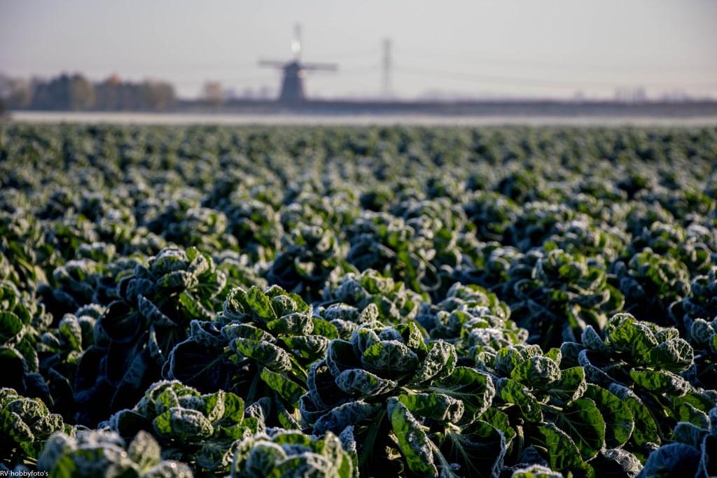 """""""vorst moet over de spruitjes"""" is een oud begrip en achterhaald, maar toch heeft het iets als er rijp over zo'n akker ligt... (Foto: Ruurd Visser, Bleiswijk) Foto: RUURDVISSER © hartvanlansingerland"""