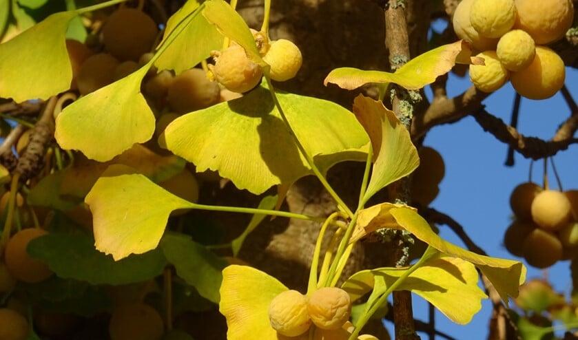 Ginkgo in november met geel blad en vruchten (foto: Marieke Elfferich)