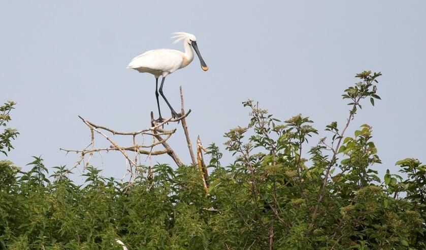 Een lepelaar houdt van uitgestrekte moerassen. (Foto: PR/Natuurmonumenten)