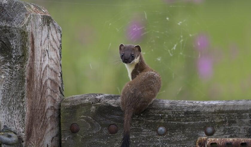 <p>De hermelijn heeft een zwarte punt aan de staart. (Foto: Gerard de Hoog)</p>