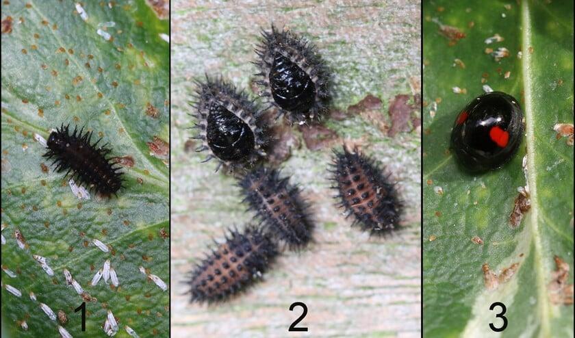<p>Niervleklieveheersbeestje: 1) larve 2) poppen/voorpoppen 3) kever (foto&rsquo;s: Caroline Elfferich)</p>