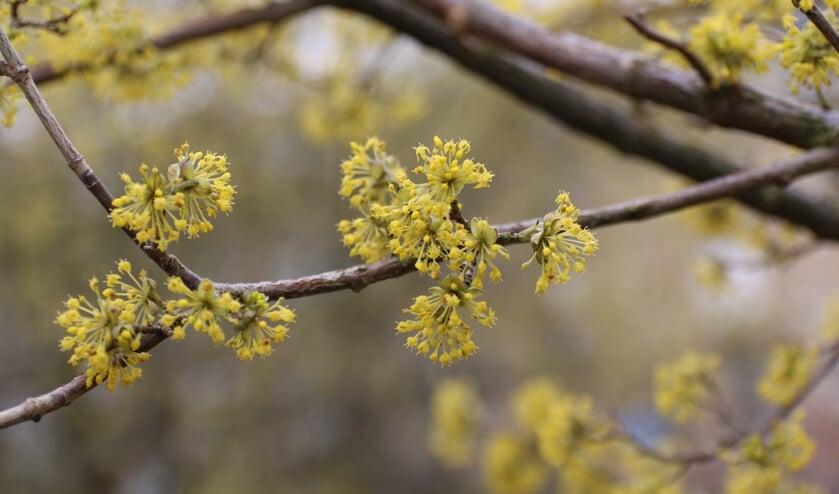 <p>Gele kornoelje bloeit vroeg in het jaar op het kale hout. (Foto: Caroline Elfferich)</p>