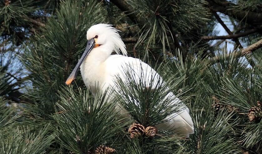<p>Lepelaar in den, waargenomen vanaf het Linnaeuspad in Delft. (Foto: Ben Jansen)</p>