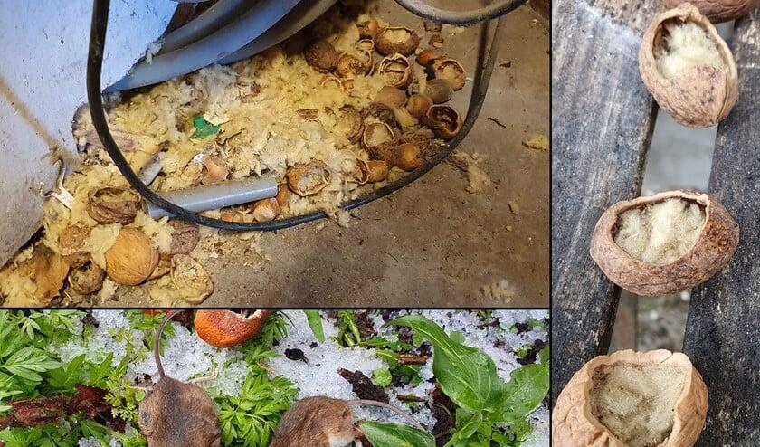 <p>Twee dode bosmuizen en walnoten gevuld met steenwol. (Foto&rsquo;s: Louis van der Meijden)</p>