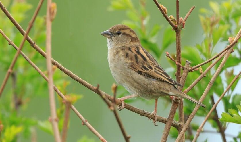 <p>Vrouwtje huismus. (Foto: Adri de Groot; www.vogeldagboek.nl)</p>