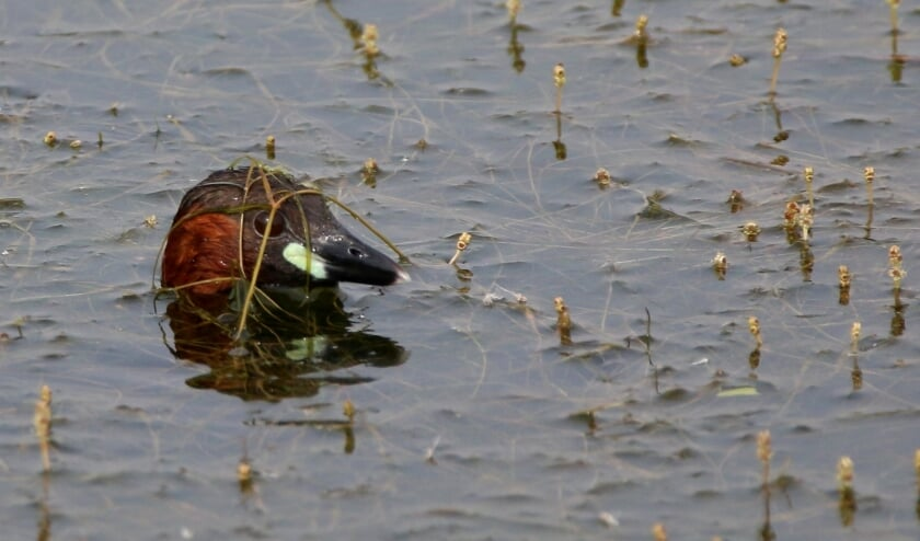<p>Kopje van dodaars tussen aarvederkruid. (Foto: Peter Elfferich) </p>