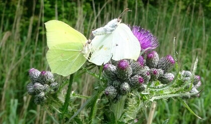 Distels zijn belangrijk voor vlinders (foto Aart van Dragt)
