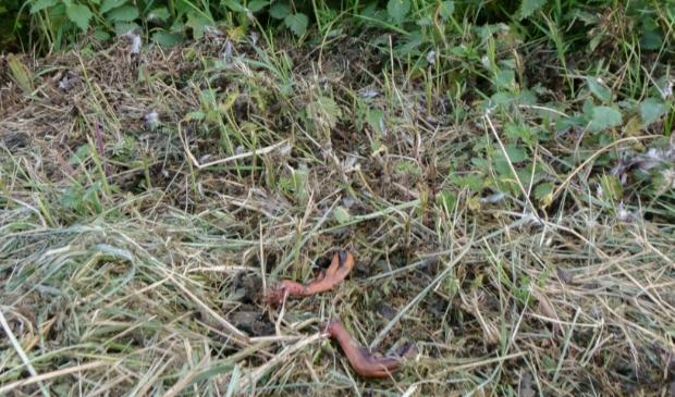 <p>De resten van een eend nadat het gebied is gemaaid. </p>