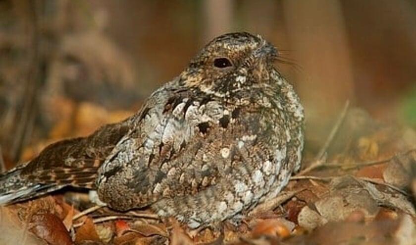 <p>De nachtzwaluw is een langeafstandstrekker die overwintert in tropisch Afrika en in Nederland broedt op o.a. heidevelden.</p>